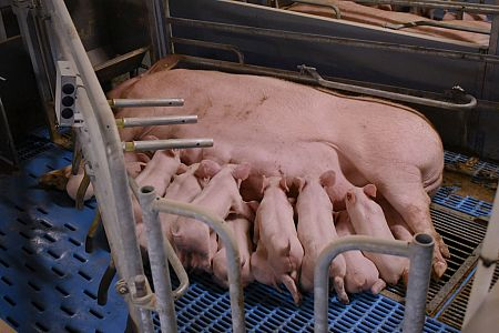 Well farrowing piglets